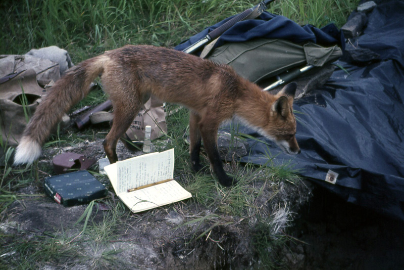 """Red Fox inspecting an archaeological excavation at Kukak Bay, Alaska, 1965"" by John Atherton"
